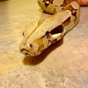 Columbian Red Tail Boa - Baby
